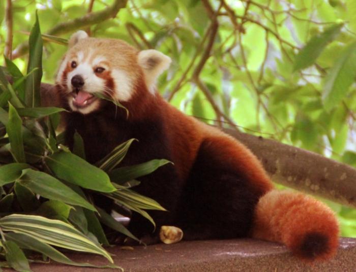 red_panda_by_pygar-d5dj6xy3 Is the Red Panda a Cat, Bear or Raccoon?
