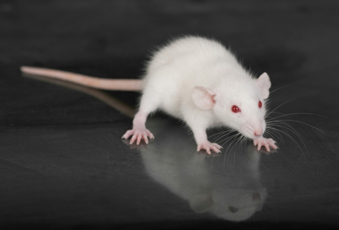 rodent_122723998_shutterstock Why Are the White Rats Extremely Important?