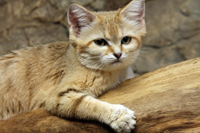 sand-cat.. Why Is the Sand Cat the Strongest Cat on Earth?