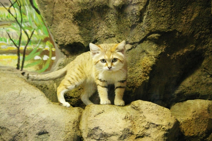sand-cat.1 Why Is the Sand Cat the Strongest Cat on Earth?
