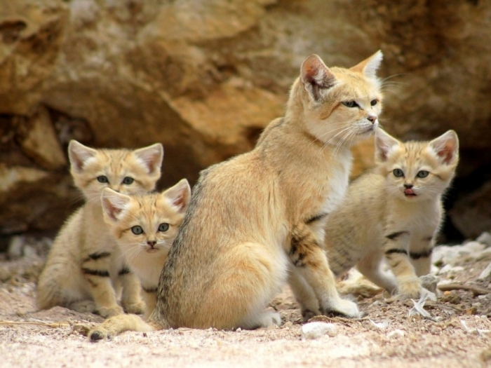 sand-cat Why Is the Sand Cat the Strongest Cat on Earth?