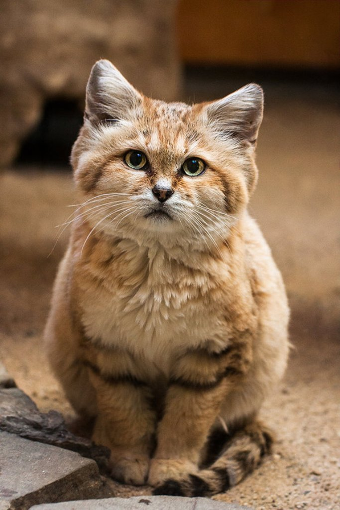 sand_cat_by_darksoul4life-d6pq0k3 Why Is the Sand Cat the Strongest Cat on Earth?