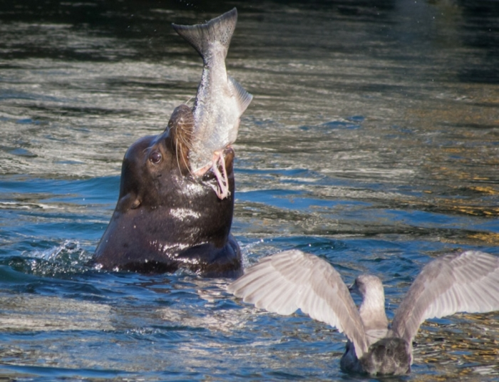 """sea-lion-eating-salmon Is It """"Sea Lions Or Sea Bears"""" You Have to Decide"""