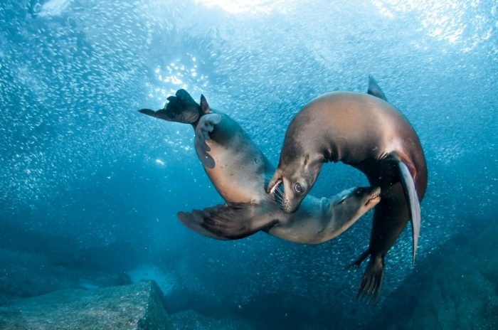"""sea-lions-playing Is It """"Sea Lions Or Sea Bears"""" You Have to Decide"""