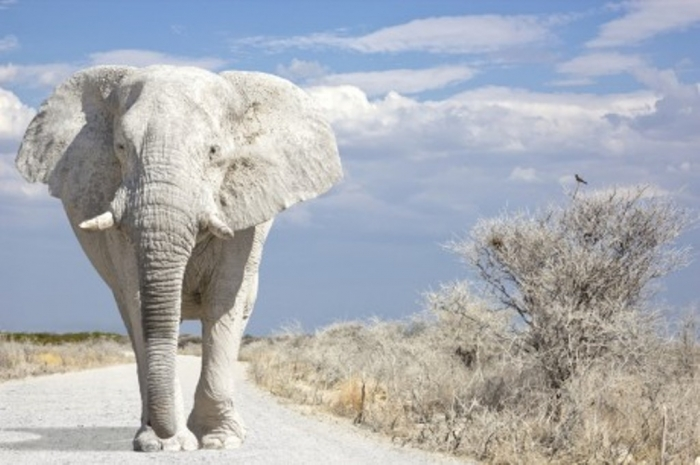 shutterstock_118443346-460x306 The White Elephant Is Not a Legend