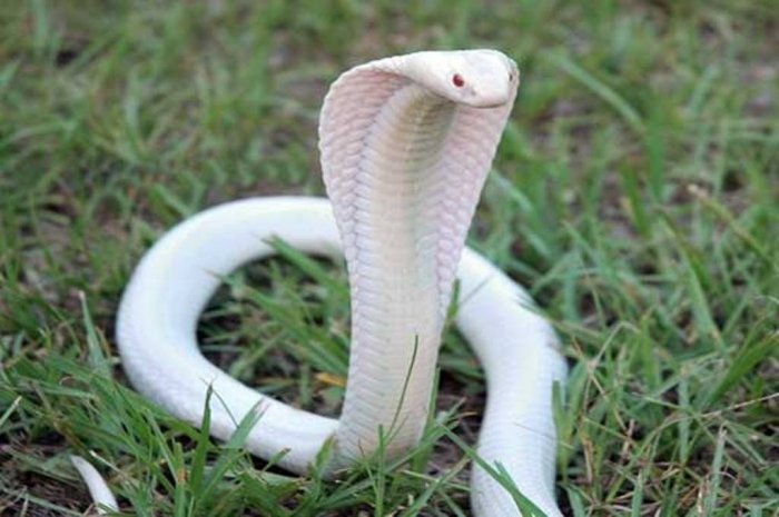 spimg Is the White Snake Just a Legend?