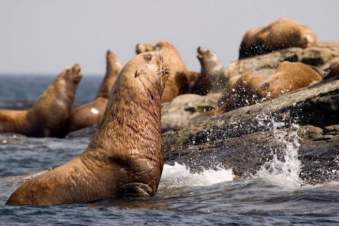 """stellers-sea-lions-gallery Is It """"Sea Lions Or Sea Bears"""" You Have to Decide"""