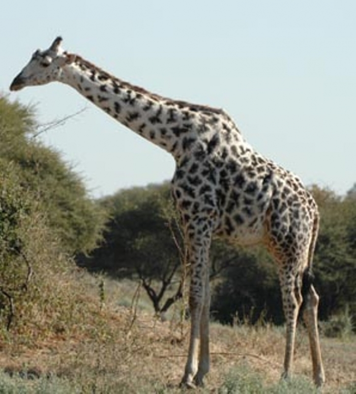 tall-giraffe Rare White Giraffes Spotted in Different Areas