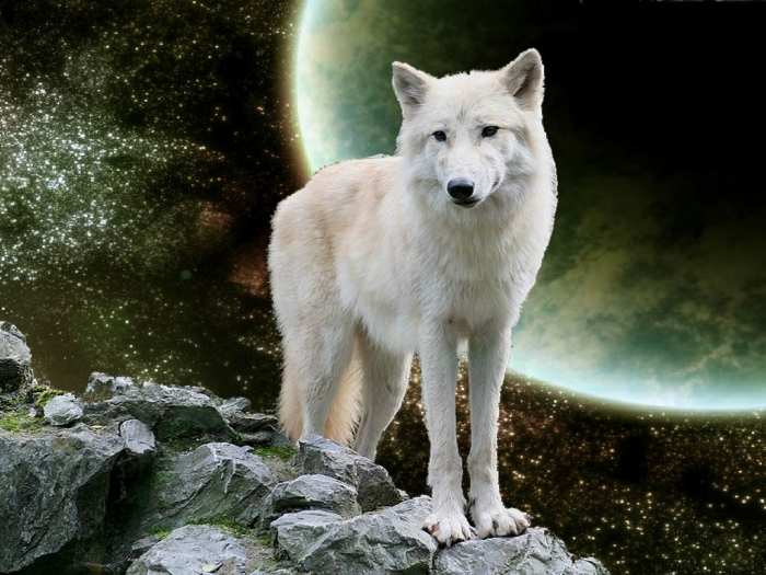 the-white-wolf Serious Facts You Must Know about the White Snow Wolf