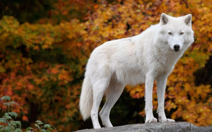 the_arctic_wolf-1536760 Serious Facts You Must Know about the White Snow Wolf