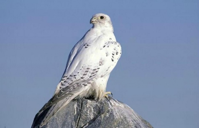 the_white_peregrine_falcon-1529659 Rare White Falcons You Have Never Seen Before