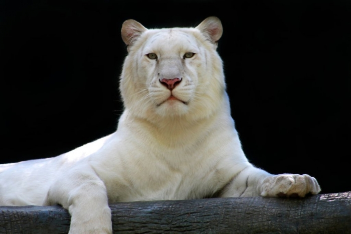 the_white_tiger_by_orionebula-d6qyxx2 Why Are These Rare & Weird Tigers White?