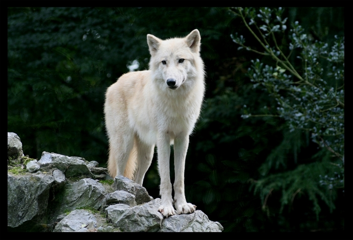 the_white_wolf_by_lunchi1 Serious Facts You Must Know about the White Snow Wolf