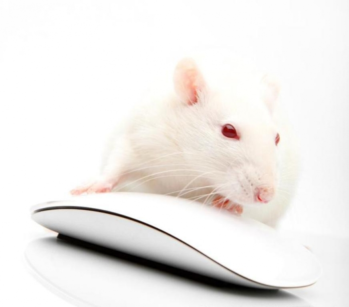 thumb_w800 Why Are the White Rats Extremely Important?