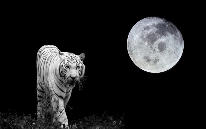 tiger-moon-white-tiger-33259310-1680-1050 Why Are These Rare & Weird Tigers White?