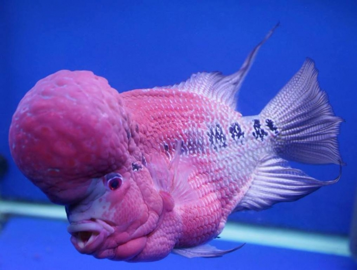 tommy-s-flowerhorn-petzonesd What Are the Kinds of Fish You Can Put in Your Fish Tank?