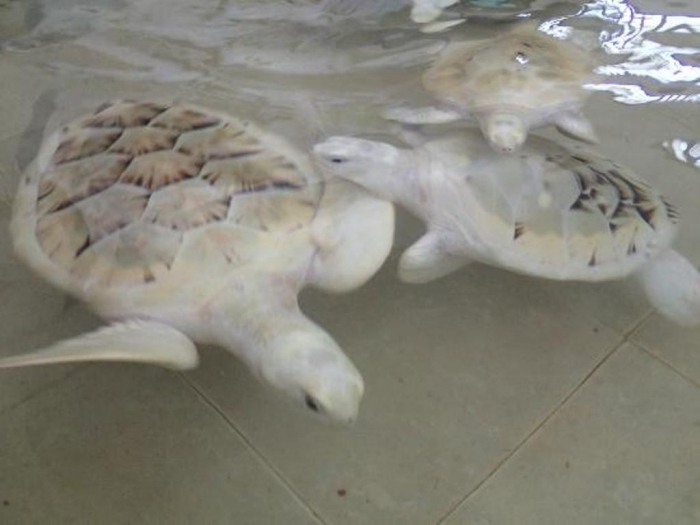 tortugranja-turtle-farm Do the White Turtles Really Exist on Earth?