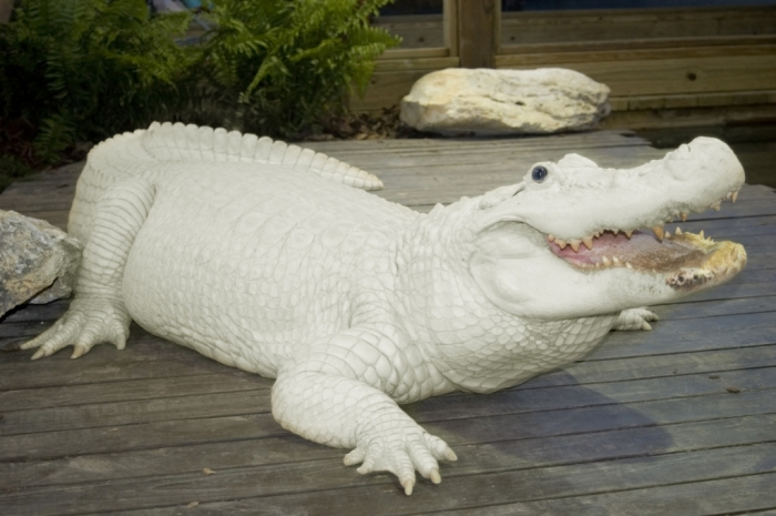 trezo-je-at-white-gator-swamp Do White Alligators Really Exist on Earth?