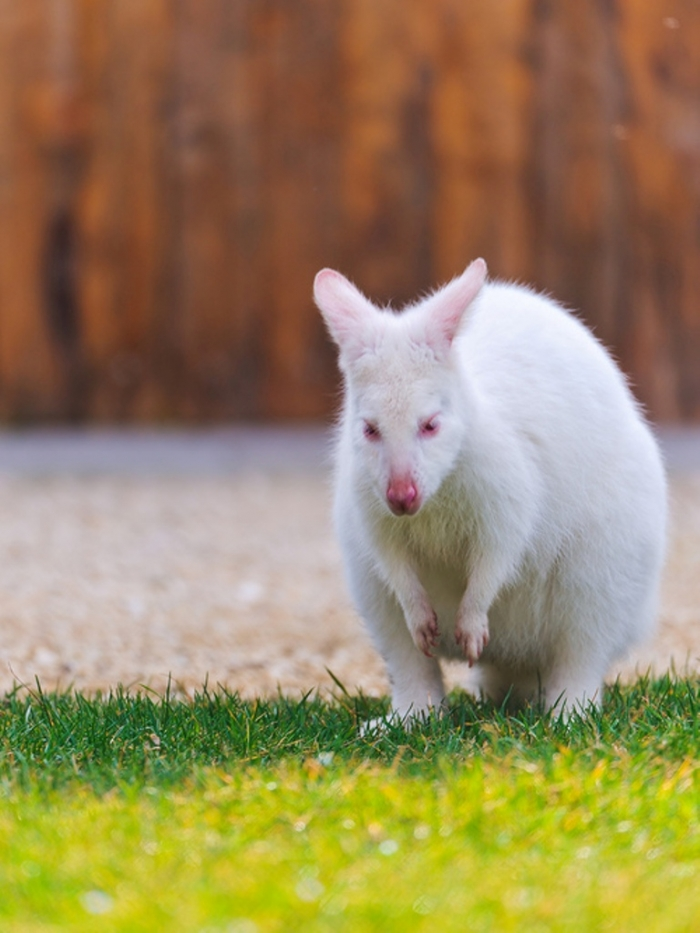 tumblr_m69dn1tnZh1qzya49o1_500 Have You Ever Seen a White Kangaroo Before?