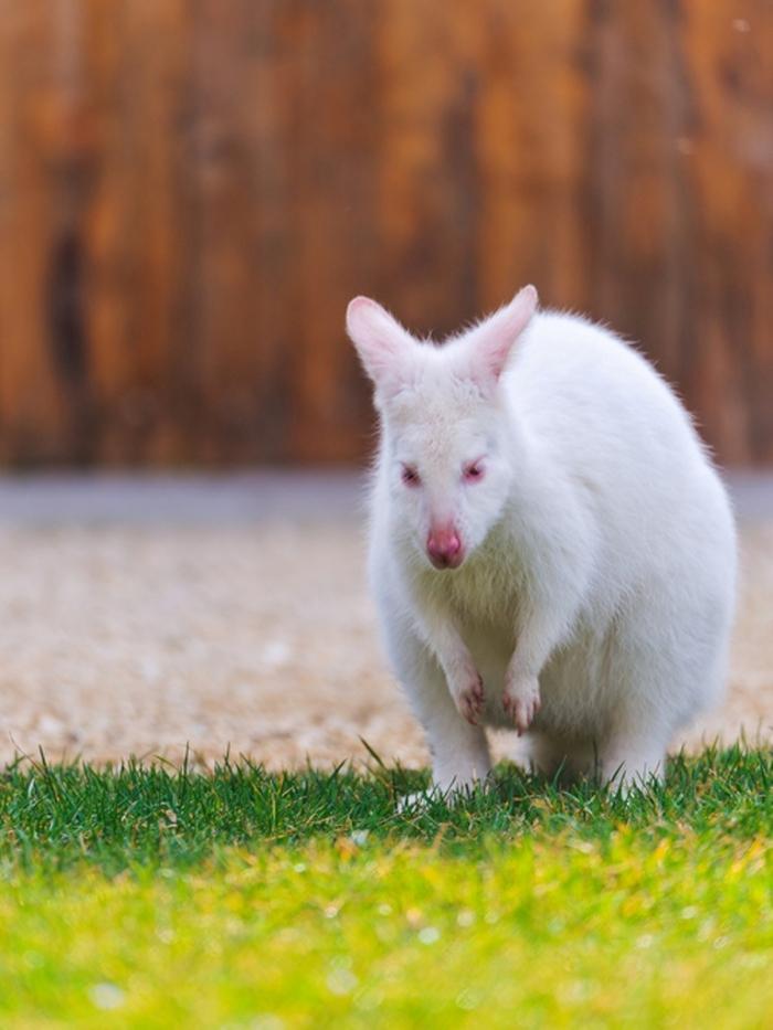 tumblr_m69dn1tnZh1qzya49o1_500 Have You Ever Seen a White Kangaroo Before?