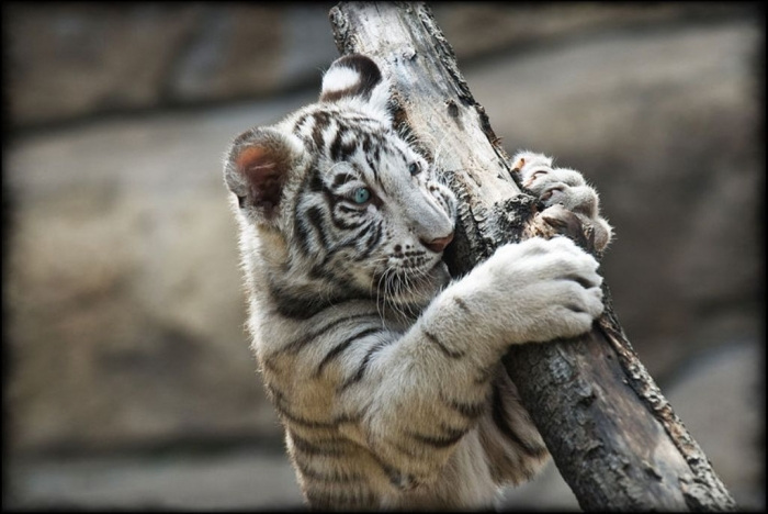 tumblr_static_white_tiger8 Why Are These Rare & Weird Tigers White?