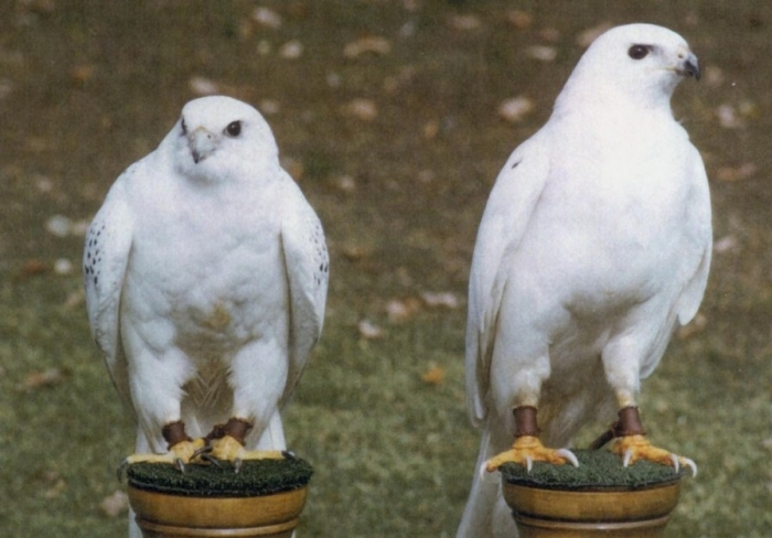 twowhitebirdssmall Rare White Falcons You Have Never Seen Before