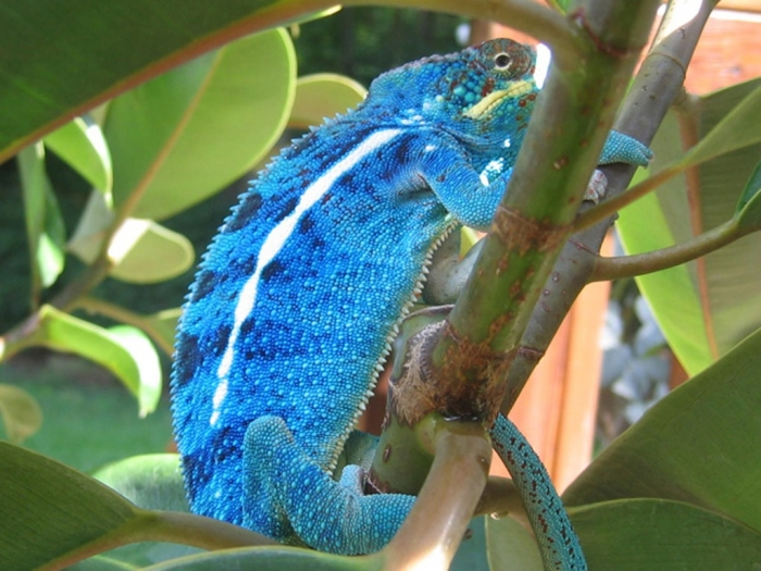 vega-cross-panther-chameleon How Can the Chameleon Change Its Color?