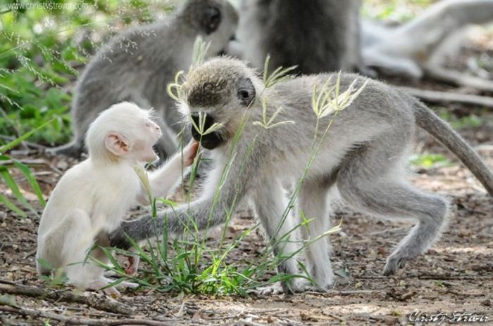 vervet-monkey-albino1 The Only White Monkey in the Whole World