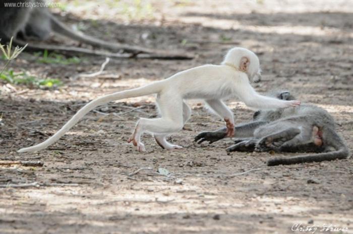vervet-monkeys1 The Only White Monkey in the Whole World