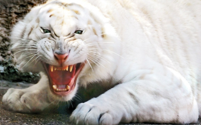 very_rare_almost_stripeless_white_tiger-1280x800 Why Are These Rare & Weird Tigers White?