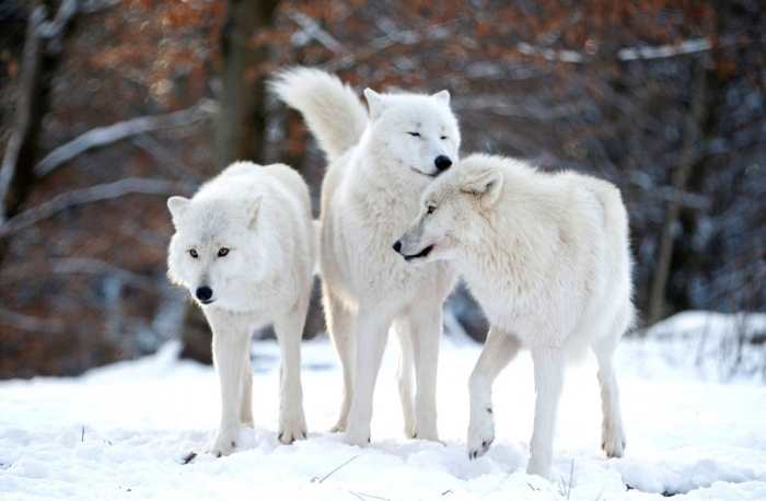 w09_RTR3CZIT Serious Facts You Must Know about the White Snow Wolf