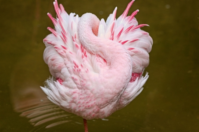 "water-bird-flamingo-wild-feather-lake-reflection-photo-fullscreen Strange Facts about the Most Beautiful Bird on Earth ""Flamingo"""