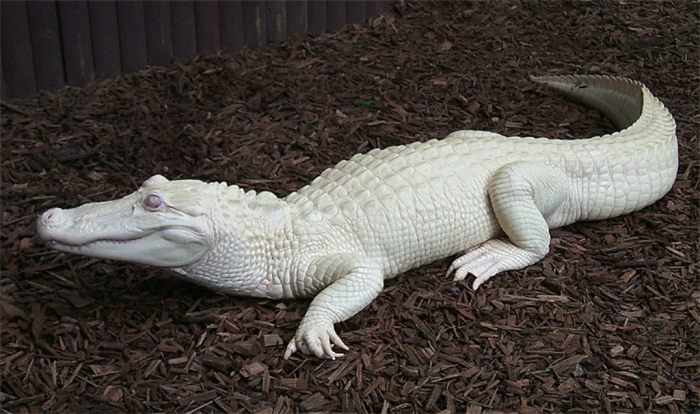 watson2 Do White Alligators Really Exist on Earth?