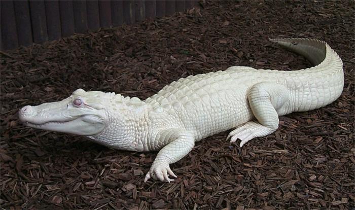 watson2 Do White Alligators Really Exist on Earth?