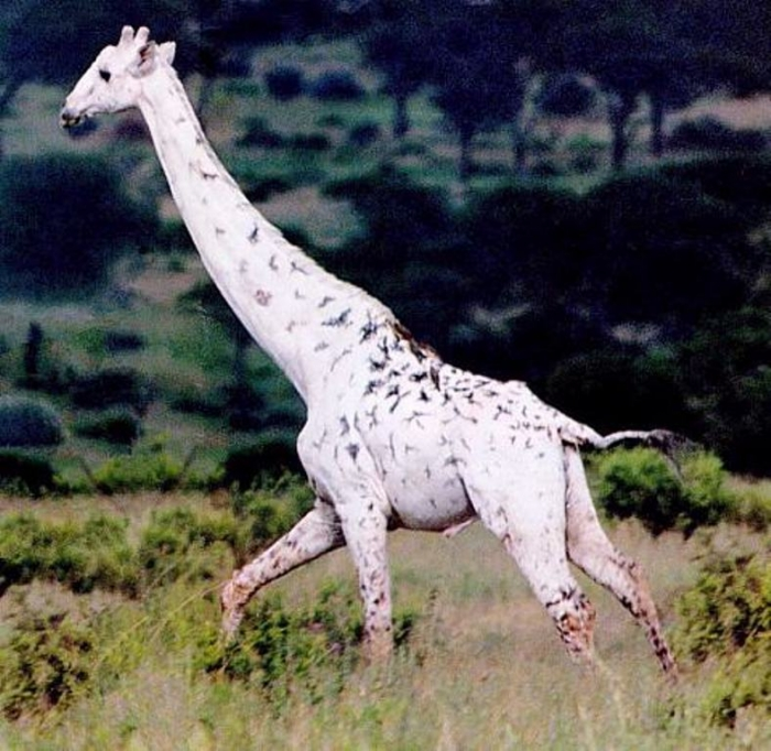 white-20giraffe-jpg Rare White Giraffes Spotted in Different Areas