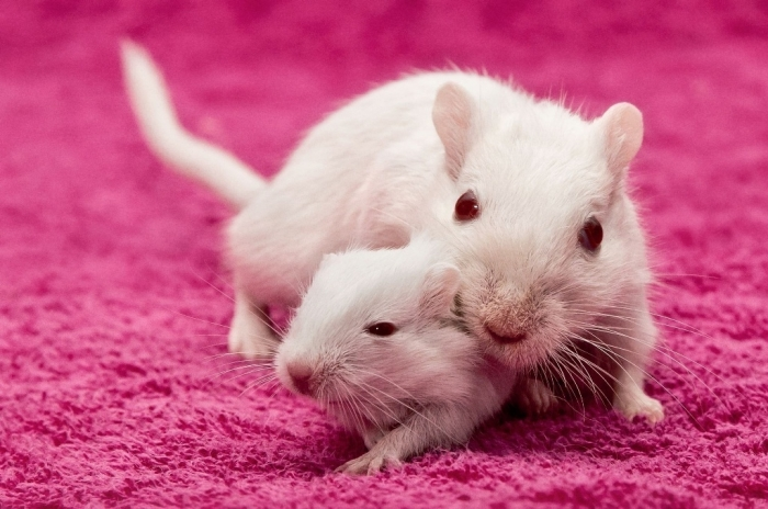 white-female-rat-302791 Why Are the White Rats Extremely Important?