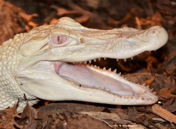 white-gator-head-right-profile-membrane-6-13-12 Do White Alligators Really Exist on Earth?