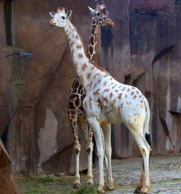 white-giraffe Rare White Giraffes Spotted in Different Areas