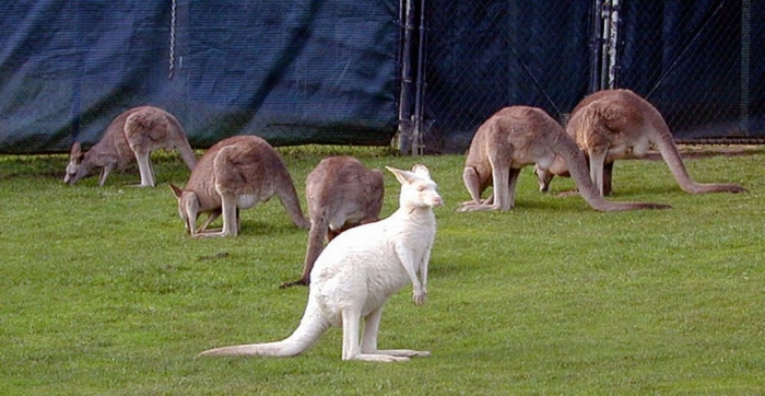 white-kangaroo Have You Ever Seen a White Kangaroo Before?