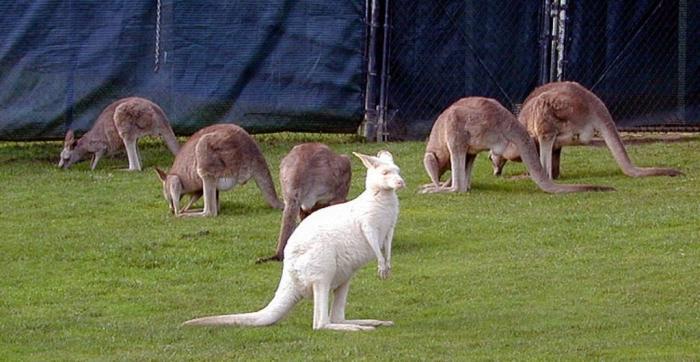 white-kangaroo Have You Ever Seen a White Kangaroo Before?