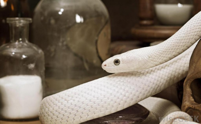 Is The White Snake Just A Legend Pouted Com