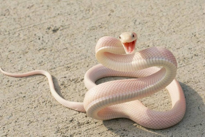 white-snake Is the White Snake Just a Legend?