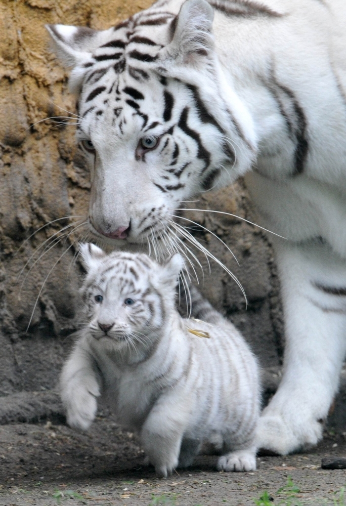 white-tigers Why Are These Rare & Weird Tigers White?