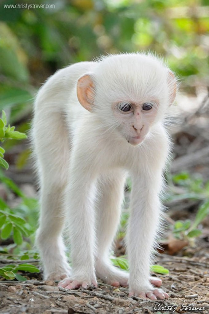 white-vervet-monkey1 The Only White Monkey in the Whole World