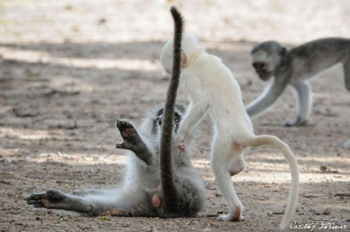 white-vervet-monkeys1 The Only White Monkey in the Whole World