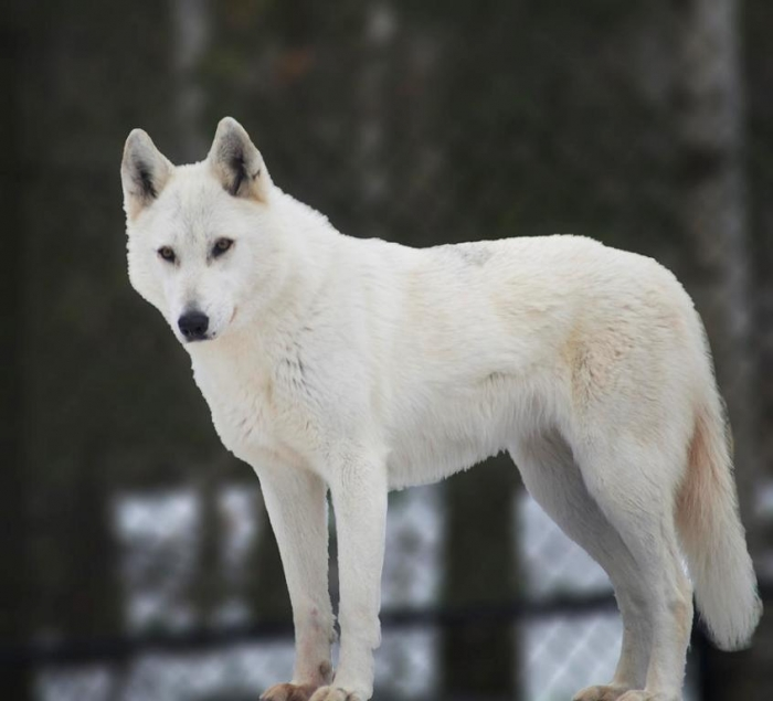 white-wolf-elaine-mikkelstrup Serious Facts You Must Know about the White Snow Wolf