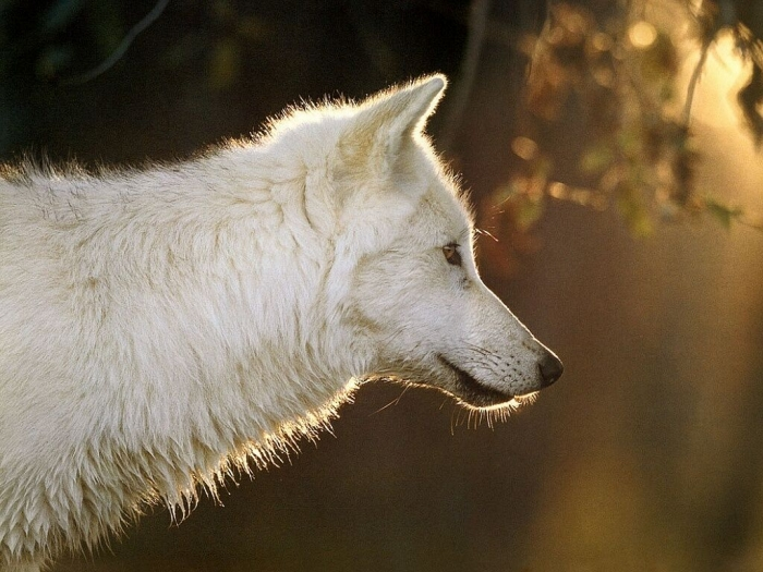 white-wolf Serious Facts You Must Know about the White Snow Wolf