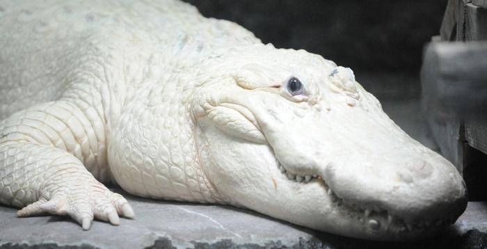 white_alligator_aaoa Do White Alligators Really Exist on Earth?