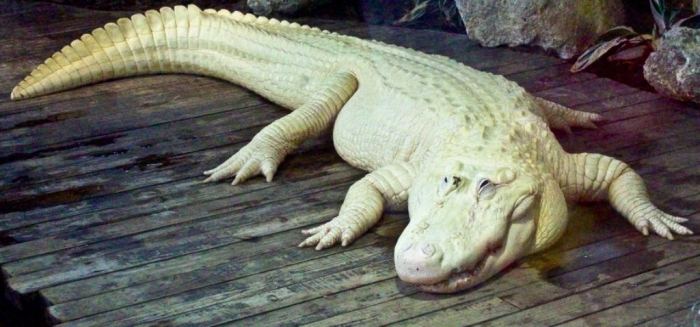 white_alligator_by_dragonora_ceohini-d3510af Do White Alligators Really Exist on Earth?
