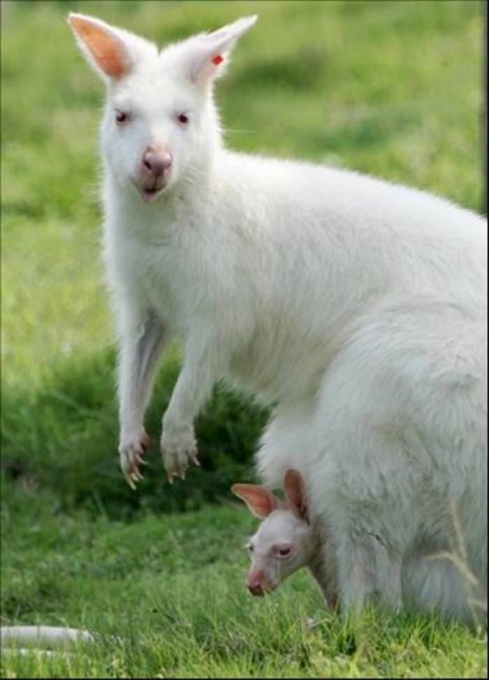 white_kangaroo_003.w540 Have You Ever Seen a White Kangaroo Before?